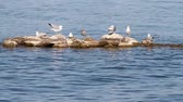 střední : Seagull Island. a medium shot of a group of seagulls standing on rocks in a body of water. Dostupné videozáznamy