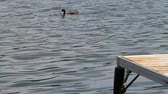 причал : Duck Swim with Dock. A duck swims in slow motion on water. the end of a dock is seen in the foreground