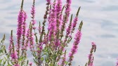 motion blur : Liatris Spicata Dolly with Bush. 2 clips. the camera dollies with a bush in the foreground. focus is on flower. first shot is a close up in slow motion. 2nd shot is medium shot in real speed. near water. you can see insects flying