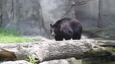 pacing : Pacing Black Bear. A bear paces back and forth in his environment. kind of funny. Stock Footage