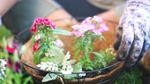 неузнаваемый : Flower in Basket and Dolly with Dirt. 2 shots. 1st shot is a tilting shot of a person placing a flower into a coco liner basket. 2nd shot is a dolly shot towards the basket as the gardener spades in dirt. selective focus Стоковые видеозаписи