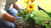 неузнаваемый : Gardener Places Gerbera Flower in Basket. a gardener removes a gebera flower and places it in a coco liner hanging basket in preparation for planting. slow motion