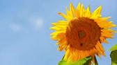 girassol : Sunflower Bees Slow. slow motion shot of bees flying around the top of a sunflower Stock Footage