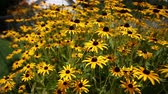 seletivo : Black Eyed Susan Flowers. camera dollies left and right on a group of black eyed susan flowers, selective focus