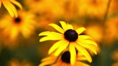 seletivo : Flower Dolly Close Up. camera dollies left on a field of black eyed susans in slow motion. shallow depth of field