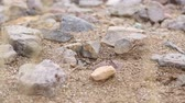 barna : Ant Nest in the Desert. a close up shot of ants in desert terrain, surrounded by rocks and sand.