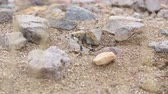 seixos : Ant Nest in the Desert Tilt Down. camera tilts down on a close up shot of ants in desert terrain, surrounded by rocks and sand. Stock Footage