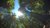 handheld : Waking Up in Forest with Sun. point of view shot of someone waking up or getting up in a forest with tall trees and sun flare high in the sky Stock Footage