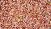 okładka : Leaves Overhead on Grass Lowering Down on Pile. view is wide overhead and moves toward a bunch of fallen leaves on grass in a yard