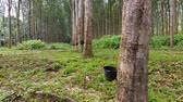 сок : Rubber Tree Plantation