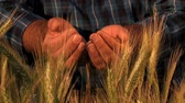 деталь : Farmer hands full of ripe wheat seeds in front of yellow field ready for the harvest. Close up of the hands of a man who drops the seeds in the field. Стоковые видеозаписи