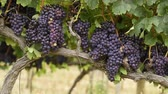 parreira : Ripe purple grapes growing and hanging on grape tress in vineyard. Shrub grapes before harvest. Large bunches of red wine grapes hang from an old vine in warm afternoon light. Stock Footage