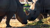 white lipped : Southern white rhinoceros eating in zoo