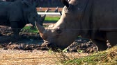 white lipped : Southern white rhinoceros in zoo