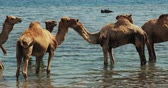 kamele : swiming and enjoying camel ride on the beach of djerba