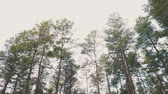 gri : Pine tree with bough close up in forest