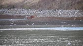 наводнение : white egrets feeding in flood plain Стоковые видеозаписи