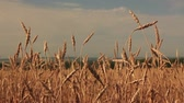 oblak : Wheat ears sway