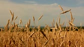 corn : Yellow ears wheat sway in the wind,