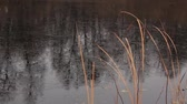 thin ice : dried cattail and freezing lake