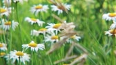 rumianek : Field chamomiles on a summer meadow. Wideo