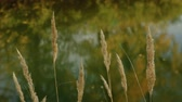 Melica ciliata swings by the wind against the background of the autumn river Stock Footage