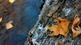 river rapids : Yellow maple leaf on the frozen bank of a stream