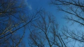 Panorama on the tops of trees, aspen on the background of spring blue sky .