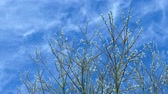Branches of a willow against the spring sky Stock Footage