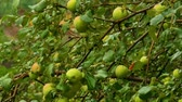 apple tree in the rain