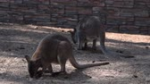 kanguru : Kangaroos looking for some food on the ground in outdoor aviary in the zoo Stok Video