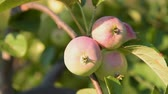 Close-up shot of apple tree branch with fruit waving slightly in the wind Stock Footage