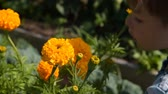 cheiro : Little boy smelling orange marigold flower in the garden