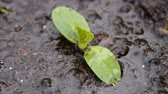 ıslak : Close-up shot of watering cucmber sprout and water soaking into the ground. Farming and agriculture Stok Video