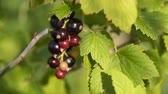 black currant : Close-up shot of waving branch with bunch of black currant. Tiny insect creeping on the berry