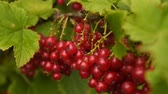 ribizli : Close-up shot of a bunch of ripe red currant on the bush