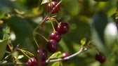zvednout : Close-up shot of woman farmer picking up berries from cherry tree in the garden