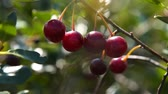 Close-up shot of tree branch with ripe cherries waving in the wind, view on sunny summer day. Agriculture and cultivation