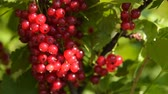 Close-up shot of bunch of ripe red currant on the bush, view in sun light Stock Footage