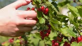 Close-up shot of woman farmer gathering ripe red currant in the garden