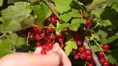 red currant : Close-up shot of woman farmer picking up ripe red currant from the shrub in the garden