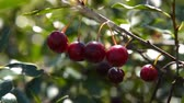 Close-up shot of tree branch wirh ripe cherries in the wind, view on sunny summer day. Agriculture and cultivation Stock Footage
