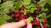 Speed-up video of woman farmer picking up ripe red currant in the garden