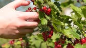 Close-up speed-up shot of woman farmer gathering ripe red currant in the garden