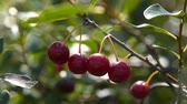 colheita : Close-up shot of cherry tree with ripe berries on the branch, view on sunny summer day. Agriculture and cultivation