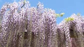 wisteria : Wisteria flowers swaying in the breeze