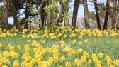 narcissus : Flower bed with yellow daffodil flowers