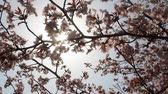cherry blossom branch : Sunlight filtering through the trees of cherry blossom Stock Footage