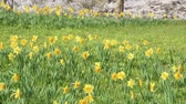 yellow flower : Yellow daffodil flowers swaying Stock Footage