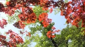 patelnia : Japanese red maple and green leaves Wideo